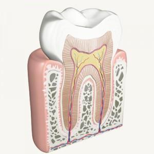 anatomie-dinte